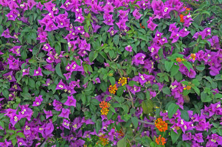 southward: Many violet  Bougainvillea flowers forms a natural fence  Bougainvillea  often beautifies southward health resorts