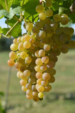 Racemations of white grapes are sunlit. The photo is make in the vineyard, Slovakia region near Tokay.