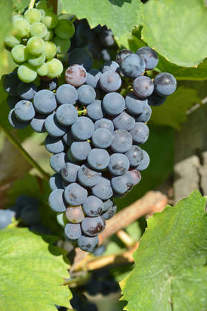 uva: Racemations of purple (blue) grapes are sunlit. The photo is make in the vineyard.