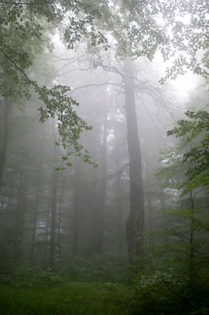 Beech forest is enshrouded in fog. It is a summer. Stock Photo