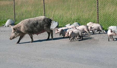 mestia: Walking pigs in Mestia region - Georgia