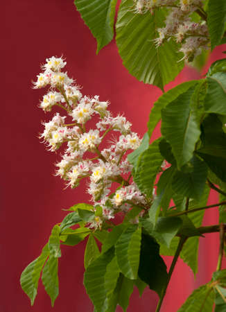 This is a close-up of blooming chestnut tree flowers. White flowers are situated against the red background.  photo