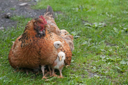 sheltering: Mother hen is sheltering her chiks. Hens family is situated against the green grass.