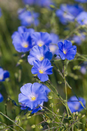 usitatissimum: These are blue flax flower in bloom (also known as common flax or linseed, Linum usitatissimum). This is natural flower composition.