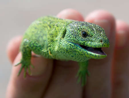 lacerta viridis: This is a close-up of European Green Lizard (Lacerta viridis). Somebody keeps green lizard in the hand.
