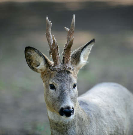 roebuck: The roe deer with horns