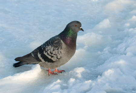 homing: The pigeon is situated against the white snow background. This is a blue-check homing pigeon, also known as a racing pigeon or racing homer