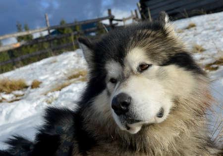 esquimales: El perro: Alascan o esquimal del Malamute se sit�a en el contexto de invierno.