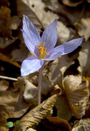 hojas antiguas: Azafr�n violeta ha crecido entre las hojas viejas. Foto de archivo