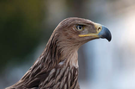 menacing: Golden Eagle ( Erne) - Aquilla chrysaetos profile is situated against the blur background. The bird has powerful beak and menacing look.