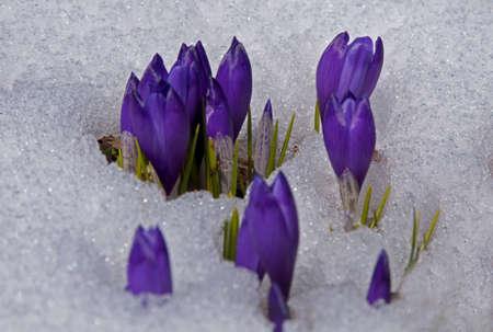 Violet crocuses struggle through the snow. Springtime - the first flowers.