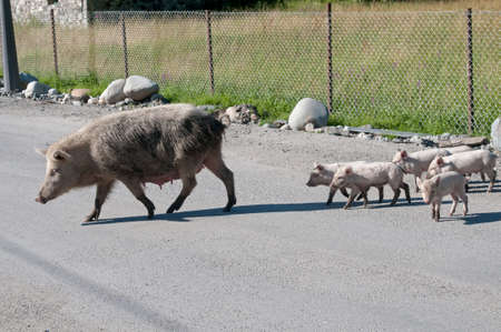 characteristic: Pig family cross a rode. This situation is characteristic for Svanety region (Georgia).
