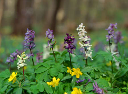 corydalis: Glade with beautiful corydalis and anemones flowers in the spring forest Stock Photo