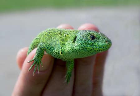 lacerta viridis: Close-up of green lizard (Lacerta viridis). Somebody keeps an animal in the hand.