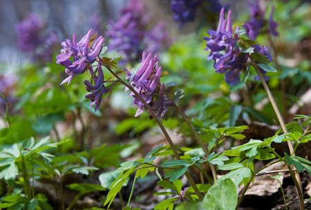 corydalis: Close-up of violet corydalis flowers. Springtime blossom in the forest.