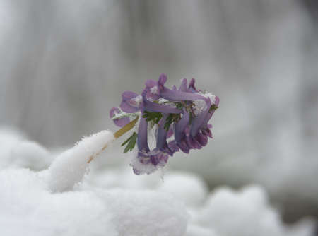 treacherous: Violet corydalis flower is powdered with snow.  Harmonious flowers arrangement on the scape is spectacularly. Illustration  of spring treacherous weather.