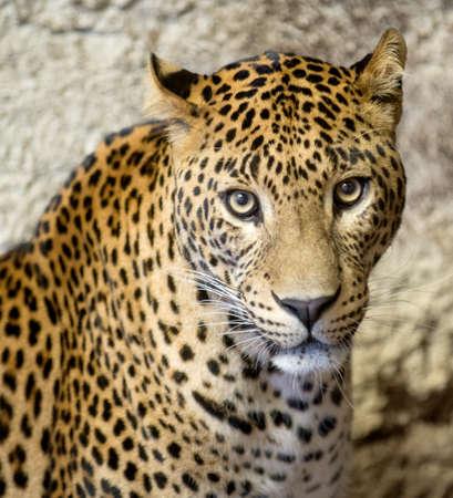 pardus: This is a portrait of the leopard panther Panthera pardus.