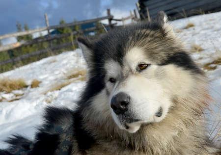 esquimales: Este perro mullido es Alascan (esquimales) Malamute. El animal se encuentra en el contexto de invierno.