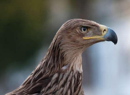 aguila real: Golden Eagle (Erne) o Aquila chrysaetos perfil se sitúa en el contexto de desenfoque. El pájaro tiene poderoso pico y mirada amenazante. Foto de archivo