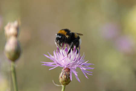 centaurea: Closeup of bumblebee collecting nectar. Insect sits on violer flower Centaurea pullata and is powered with pollen grain. Stock Photo