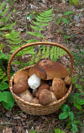 porcini: Porcini mushrooms harvest in basket against natural background.