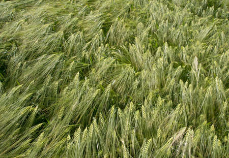 sway: Green ears of wheat sway in the wind. Summer season. Stock Photo