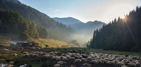 mountain goat: Sheep in the fold against green mountains landscape. Sunbeams penetrate morning mist. Romania, Maramures region. Stock Photo
