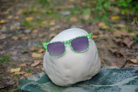 giant mushroom: Anybody has dressed white Giant puffball  with modern sun-glasses. Story about fashion and edible mushrooms. Autumn season. Stock Photo