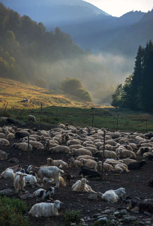 penetrate: Sheep and goats  in the fold against green mountains landscape. Sunbeams penetrate morning mist. Romania, Maramures region.