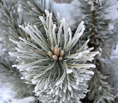 resfriado: Winter scene - frost on pine tree .