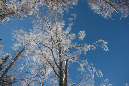 high view: Winter. Frosted crown of trees with clear blue sky. Perspective view of winter forest.