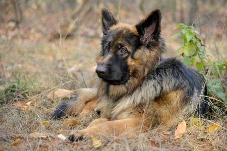 longhair: German Shepherd Dog has a rest. Animal against nature blur background. This is longhair variety of German Shepherd Dog.
