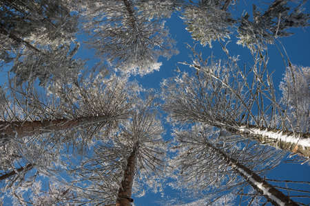 scenic view: Winter. Frosted crown of trees with clear blue sky. Perspective view of winter forest.