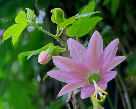 sedative: Close-up pink passiflora flower in nature Sri Lanka. Passiflora, known also as the passion flowers or passion vines is used in gardening and as sedative herbal. Stock Photo