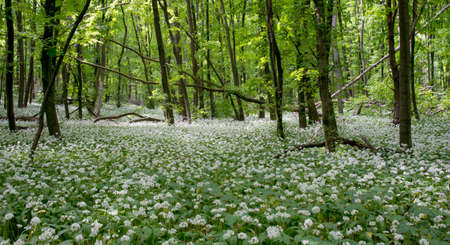 ajo: White flowes is covered ground between trees. This is a wild leek beers onion blossom in deciduous forest.