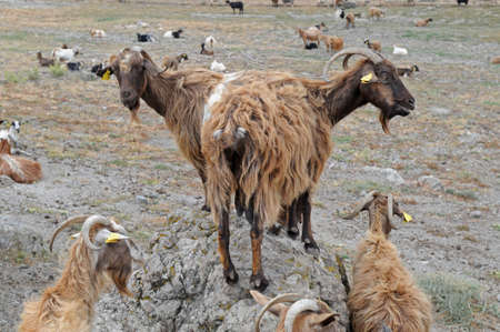 grazing land: Brown domestic  goats are grazing on the table land. All animals have labels on their ears. Stock Photo