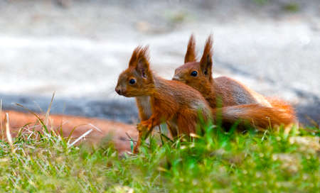 Two squirrel: mother and its baby pickaninny are situated on the green grass. Foreground and background are blur.