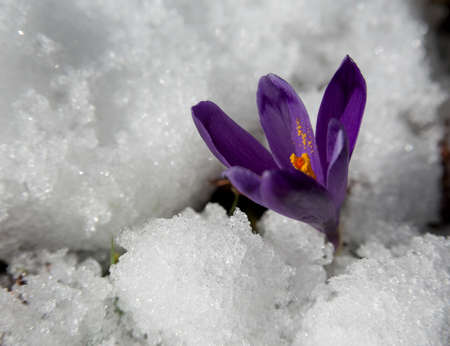struggled: Violet crocuses have struggled through the snow. People associate  these flowers with spring. Stock Photo