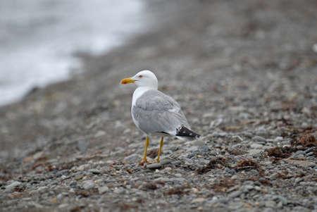 shingle beach: Herring gull on the shingle beach. Close-up.