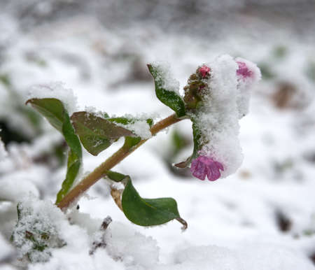 pulmonaria: Transmutations of weather. Winter returning. Lungwort flower Pulmonaria has been covered with snow.