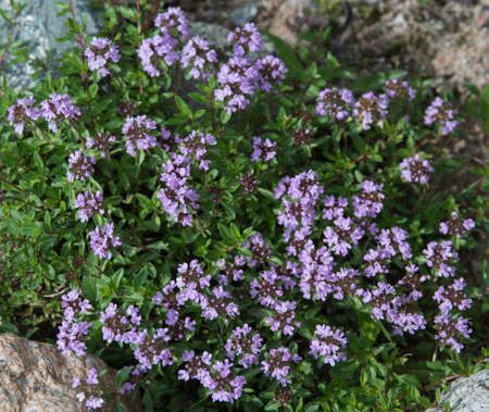 Thyme - summer and spring flowers. The thyme is commonly used in cookery and in herbal medicine. Stock Photo - 54090024