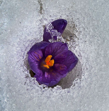 farina: Two violet crocuses: flower and bud  in snow. Close-up. Particles of yellow farina is seen well at the heart of flower. Stock Photo