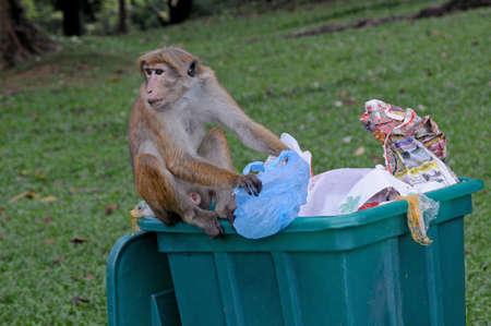 environmental issues: Monkey scavenges in full dumpster.  Scene in tropical garden.