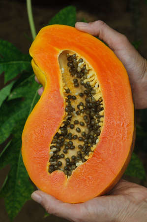 laxative: Sweet tropical fruit papaya - view in section. Somebody keeps fruit in hands.