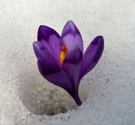 struggled: Violet crocuses have struggled through snow.