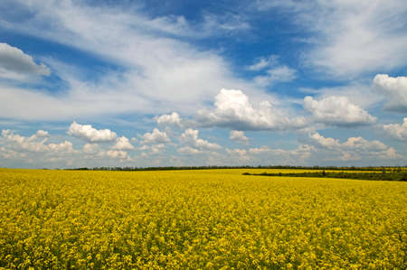bright sky: Yellow field of Rapeseed Brassica napus Stock Photo