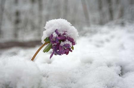 treacherous: Violet corydalis flower covered with snow. Illustration of spring treacherous weather.
