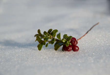 bilberry: Overwintered red bilberry clusterberry on snow surface. Close-up.