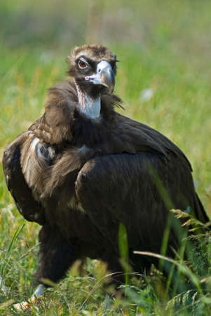 lappet: Brown vulture (Gips) on green grass. Close-up. The bird has brooding eyes.