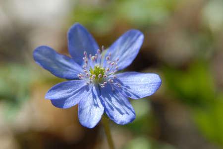 liverwort: Hepatica flower close-up. Flower against blur natural background.